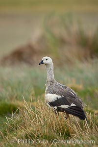 "Upland goose, male, walking across grasslands. Males have a white head and breast, females are brown with black-striped wings and yellow feet. Upland geese are 24-29""  long and weigh about 7 lbs, Chloephaga picta, New Island"