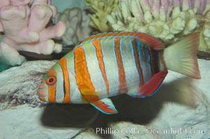 Harlequin tuskfish., Choerodon fasciatus, natural history stock photograph, photo id 07847