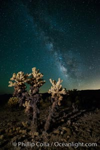 Cholla cactus and Milky Way, stars fill the night sky over the Cholla Garden, Joshua Tree National Park, California
