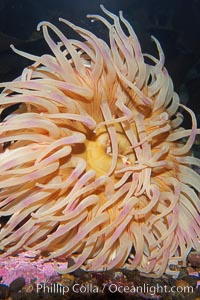 Christmas anemone, feeds on small crabs, urchins and fish, may live 60 to 80 years, Urticina crassicornis