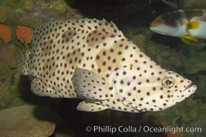 Panther grouper, Chromileptis altiveles