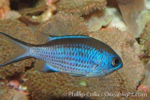 Blue chromis, Chromis cyanea