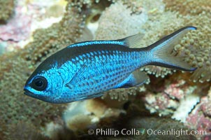 Blue chromis., Chromis cyanea, natural history stock photograph, photo id 11775