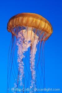 Sea nettles, Chrysaora fuscescens