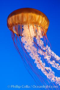 Sea nettles., Chrysaora fuscescens, natural history stock photograph, photo id 08954