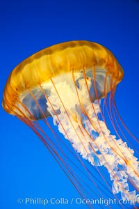Sea nettles., Chrysaora fuscescens, natural history stock photograph, photo id 14082