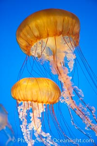 Sea nettles., Chrysaora fuscescens, natural history stock photograph, photo id 14085