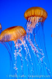 Sea nettles., Chrysaora fuscescens, natural history stock photograph, photo id 14939