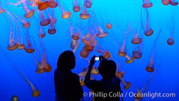 Visitors enjoy viewing sea nettle jellyfish at the Monterey Bay Aquarium, Chrysaora fuscescens
