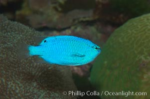 Sapphire devil (blue damselfish), female/juvenile coloration., Chrysiptera cyanea, natural history stock photograph, photo id 07918