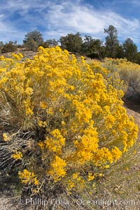 Rabbitbrush. White Mountains, Inyo National Forest, California, USA, Chrysothamnus, natural history stock photograph, photo id 17609