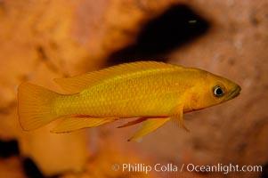 Unidentified African cichlid fish