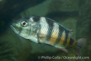 Unidentified cichlid fish., natural history stock photograph, photo id 11044