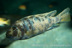 Unidentified cichlid fish., natural history stock photograph, photo id 11047