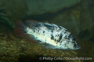 Unidentified cichlid fish