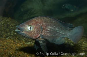 Unidentified cichlid fish., natural history stock photograph, photo id 11050