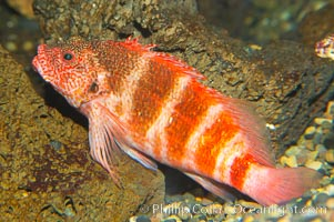 Hawaiian hawkfish., Cirrhitops fasciatus, natural history stock photograph, photo id 13974