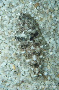 A small (2 inch) sanddab is well-camouflaged amidst the grains of sand that surround it., Citharichthys, natural history stock photograph, photo id 08946