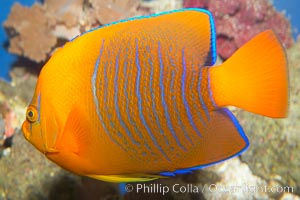 Juvenile Clarion angelfish., Holacanthus clarionensis, natural history stock photograph, photo id 12900