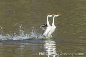 Clark's Grebes Rushing on Lake Hodges, San Diego, Aechmophorus clarkii