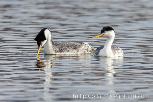 Clarks Grebes, courting pair, Lake Hodges, Aechmophorus clarkii, San Diego, California
