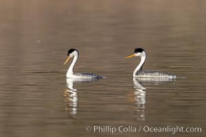 Clarks Grebes, courting pair, Lake Hodges, Aechmophorus clarkii