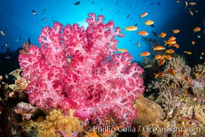 Closeup view of  colorful dendronephthya soft corals, reaching out into strong ocean currents to capture passing planktonic food, Fiji. Fiji, Dendronephthya, natural history stock photograph, photo id 34709