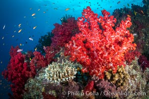 Closeup view of  colorful dendronephthya soft corals, reaching out into strong ocean currents to capture passing planktonic food, Fiji, Dendronephthya, Gau Island, Lomaiviti Archipelago