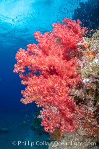 Closeup view of  colorful dendronephthya soft corals, reaching out into strong ocean currents to capture passing planktonic food, Fiji, Dendronephthya, Bligh Waters