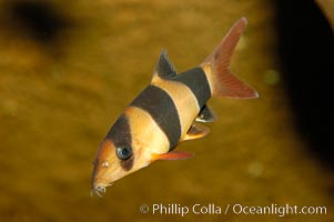 Image 09327, Clown loach, a freshwater fish native to Indonesia (Sumatra and Borneo)., Botia macracanthus, Phillip Colla, all rights reserved worldwide. Keywords: botia macracanthus, clown loach, underwater.