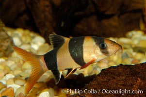 Clown loach, a freshwater fish native to Indonesia (Sumatra and Borneo), Botia macracanthus