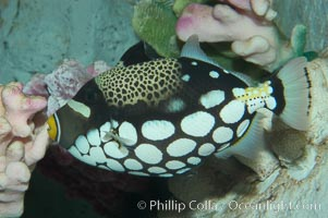 Image 07841, Clown triggerfish., Balistoides conspicillum, Phillip Colla, all rights reserved worldwide. Keywords: animal, balistoides conspicillum, clown triggerfish, color and pattern, fish, fish anatomy, indo-pacific, marine fish, mask or hidden eye, spot, triggerfish, underwater.