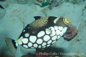 Clown triggerfish., Balistoides conspicillum, natural history stock photograph, photo id 07842