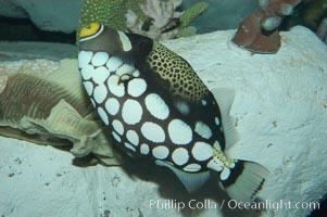Clown triggerfish., Balistoides conspicillum, natural history stock photograph, photo id 07844
