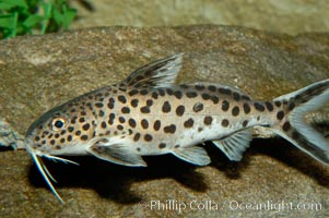 Clownfish or squeeker, a freshwater fish native to Lake Tanganyika in Africa., Synodontis multipunctatus, natural history stock photograph, photo id 09346