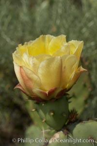 Coast prickly pear cactus in bloom, Batiquitos Lagoon, Carlsbad, Opuntia littoralis