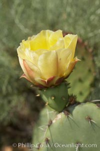Coast prickly pear cactus in bloom, Batiquitos Lagoon, Carlsbad. California, USA, Opuntia littoralis, natural history stock photograph, photo id 11357