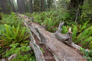 Fallen coast redwood tree.  This tree will slowly decompose, providing a substrate and nutrition for new plants to grow and structure for small animals to use.  Nurse log, Sequoia sempervirens, Redwood National Park, California