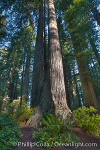 Coast redwood trees in Lady Bird Johnson Grove, Redwood National Park.  The coastal redwood, or simply 'redwood', is the tallest tree on Earth, reaching a height of 379' and living 3500 years or more, Sequoia sempervirens