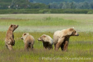 Brown bear mother sow and her three cubs, alert to the approach of another adult brown bear who may be a threat to the cubs, Ursus arctos, Lake Clark National Park, Alaska