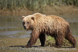 Coastal brown bear walks in Silver Salmon Creek, Ursus arctos, Lake Clark National Park, Alaska