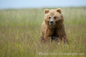 Coastal brown bear cub, one and a half years old, near Johnson River.  This cub will remain with its mother for about another six months, and will be on its own next year, Ursus arctos, Lake Clark National Park, Alaska