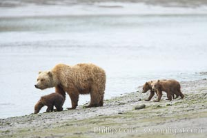 Brown bear female sow with spring cubs.  These three cubs were born earlier in the spring and will remain with their mother for almost two years, relying on her completely for their survival, Ursus arctos, Lake Clark National Park, Alaska