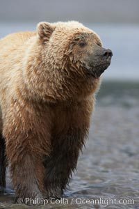 Coastal brown bear on sand flats at low tide. Lake Clark National Park, Alaska, USA, Ursus arctos, natural history stock photograph, photo id 19209