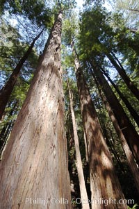 Coastal redwoods and Douglas firs dominate the Muir Woods National Monument north of San Francisco.  Coast redwoods are the worlds tallest living species and second-most massive tree (after the giant Sequoia), reaching 370 ft in height and 22 ft in diameter.  Muir Woods National Monument, Golden Gate National Recreation Area, north of San Francisco. California, USA, Sequoia sempervirens, Pseudotsuga menziesii, natural history stock photograph, photo id 09081