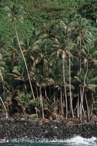 Palm trees on shoreline. Cocos Island, Costa Rica, natural history stock photograph, photo id 05801