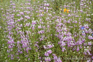 Chinese houses bloom in spring, Lake Elsinore. Lake Elsinore, California, USA, Collinsia heterophylla, natural history stock photograph, photo id 11610
