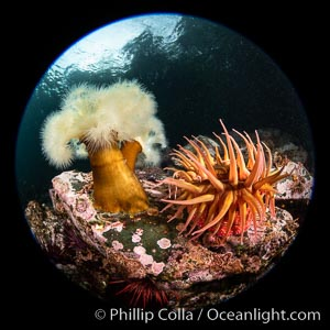 Anemones are found in abundance on a spectacular British Columbia underwater reef, rich with invertebrate life. Browning Pass, Vancouver Island