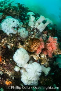 Anemones are found in abundance on a spectacular British Columbia underwater reef, rich with invertebrate life. Browning Pass, Vancouver Island, Metridium farcimen