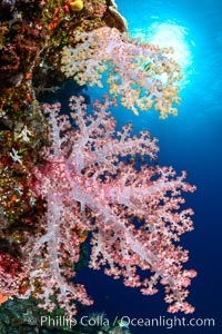 Spectacularly colorful dendronephthya soft corals on South Pacific reef, reaching out into strong ocean currents to capture passing planktonic food, Fiji, Dendronephthya
